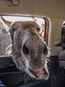 Friendly  burro - Custer State Park
