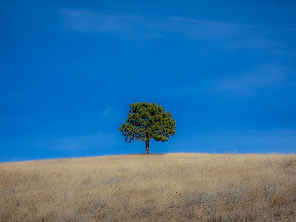 Lone Tree - Custer State Park