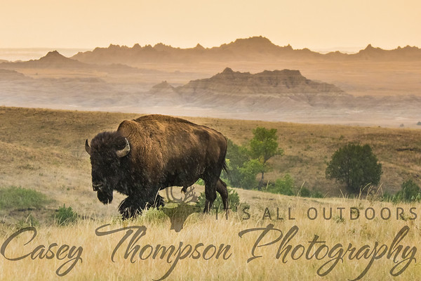 Badlands Bison in the Rain