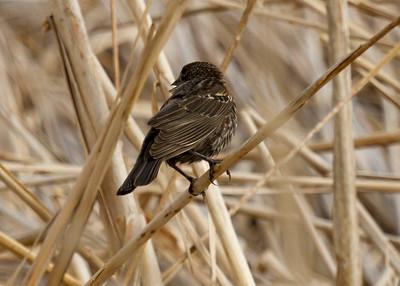 red winged blackbird s dakota female-9179