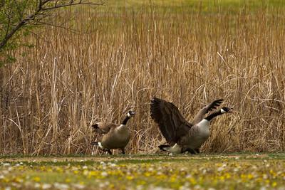 2 geese  s dakota wetland-9263
