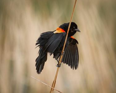 Yellow Headed Black Bird in South Dakota