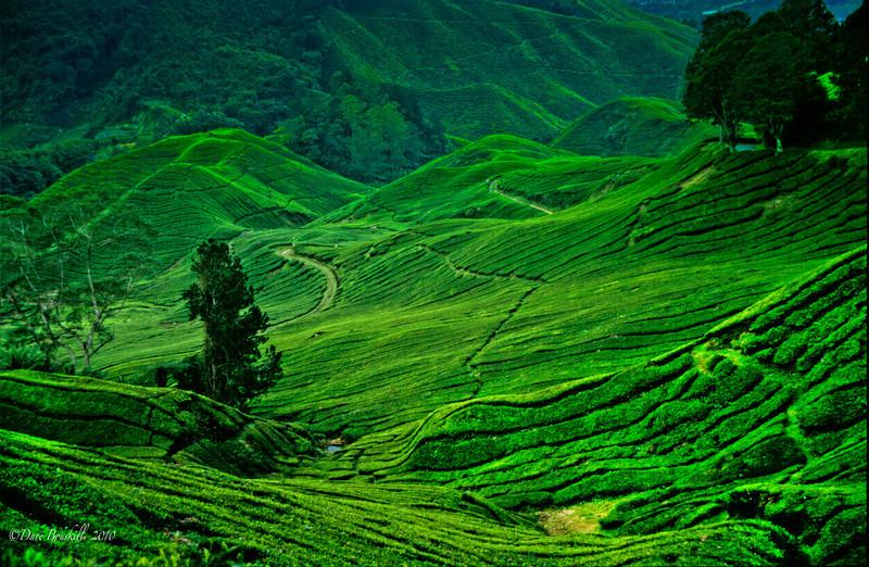The tea feilds on The Cameron Highlands, Malaysia