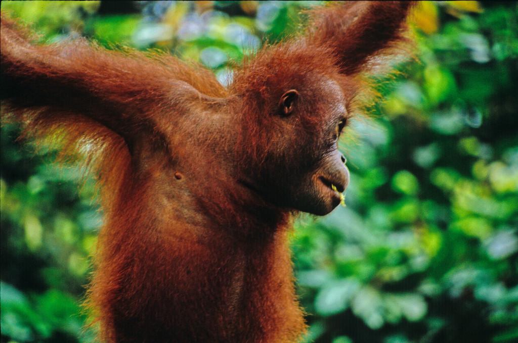 animal encounters orangutan in borneo