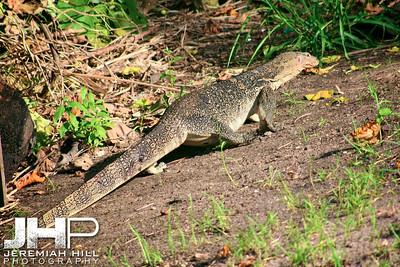 """Monitor Lizard Getaway #2"", Perhentian Islands, Malaysia, 2007 Print ML-036"