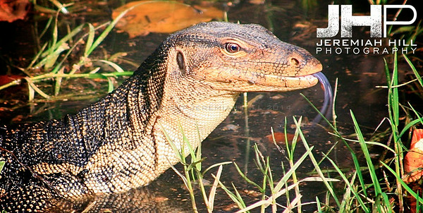 """Monitor Lizard In Swamp"", Perhentian Islands, Malaysia, 2007 Print ML-022"