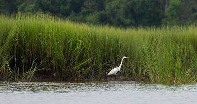 Tall Grass and Great Egret