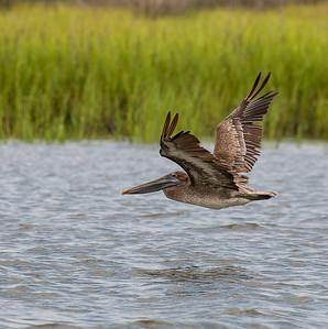 Brown Pelican, Pelecanus occidentalis