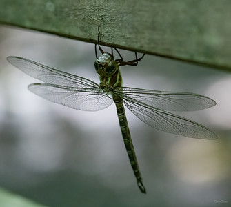 Newly emerged Adult Dragonfly.  A treat to see!