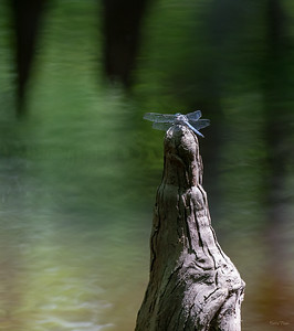 """Dragonfly on Cypress """"knee"""""""