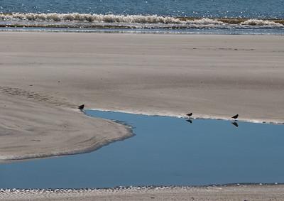 Shore birds.