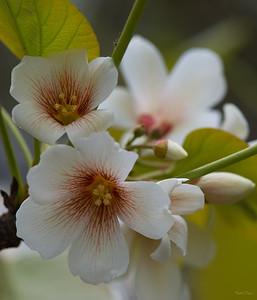Tung-Oil Tree Flower