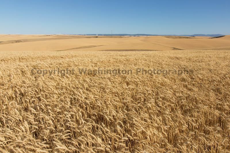 Wheat Fields in Summer 89