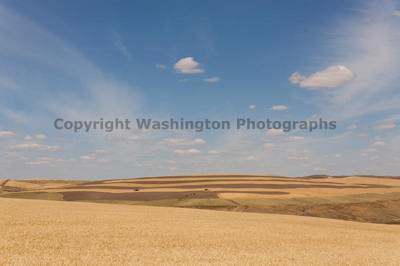 Wheat Fields in Summer 77