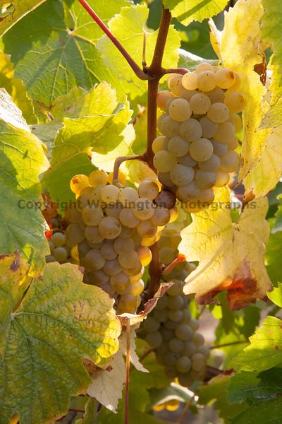Vineyard Grapes 120