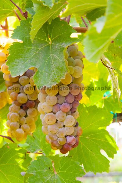 Vineyard Grapes 101