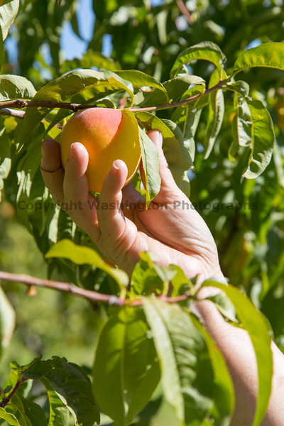 Orchard - Peaches 11
