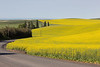 Canola Fields 63