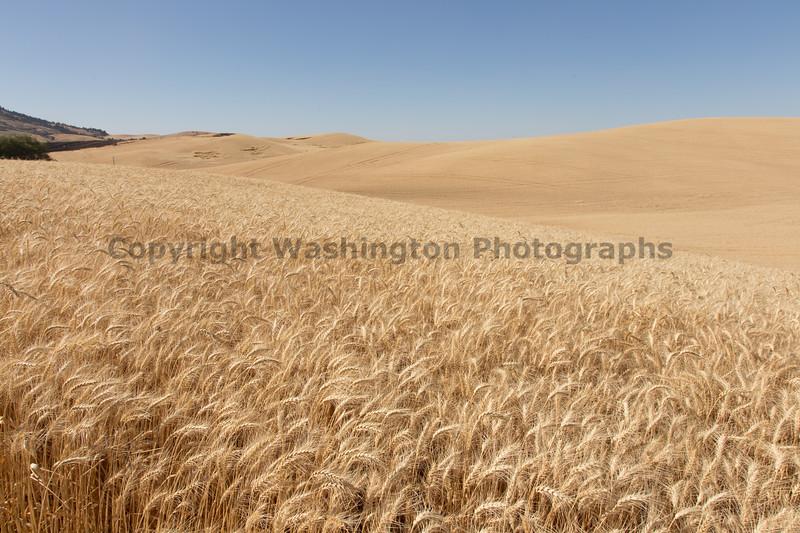 Wheat Fields in Summer 133