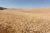 Wheat Fields in Summer 133