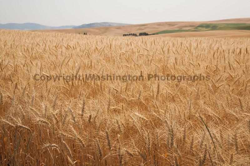 Wheat Fields in Summer 37