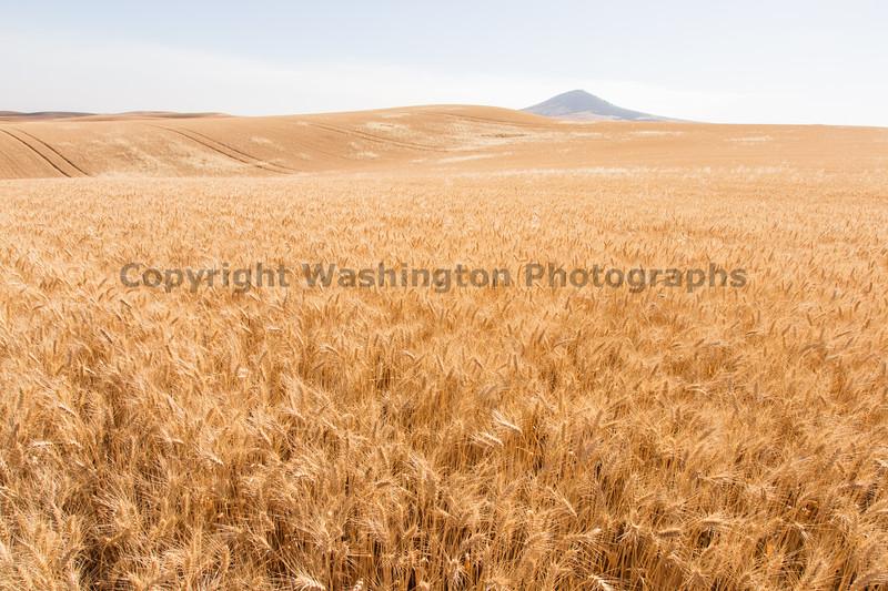 Wheat Fields in Summer 134