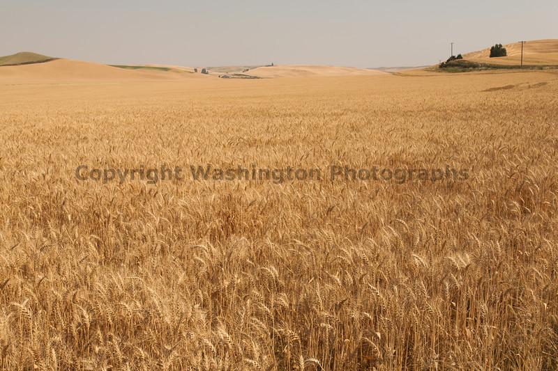 Wheat Fields in Summer 40