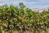 Vineyard - Walla Walla 12