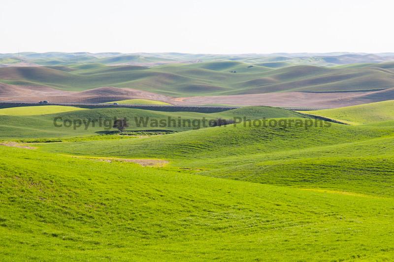 Wheat Fields in Spring 055