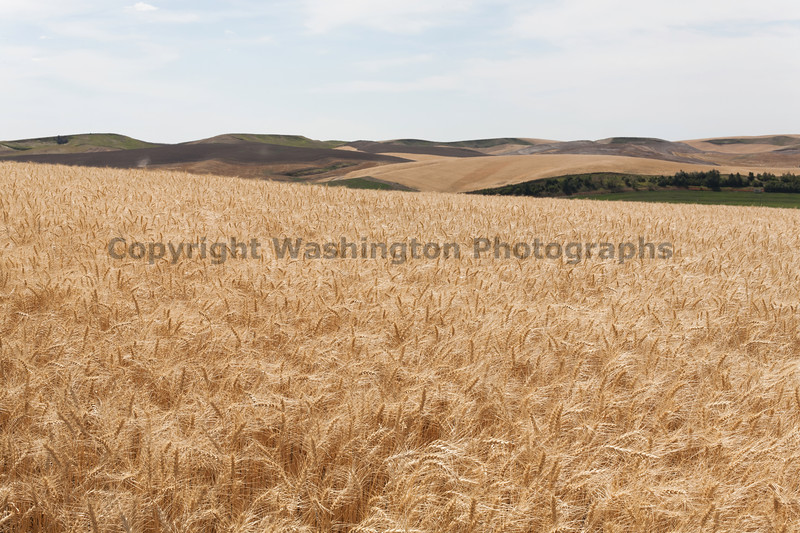 Wheat Fields in Summer 75
