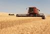 Wheat Harvest 175