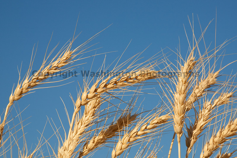 Wheat Fields in Summer 100