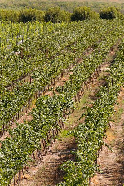 Vineyard - Rattlesnake Hills 104