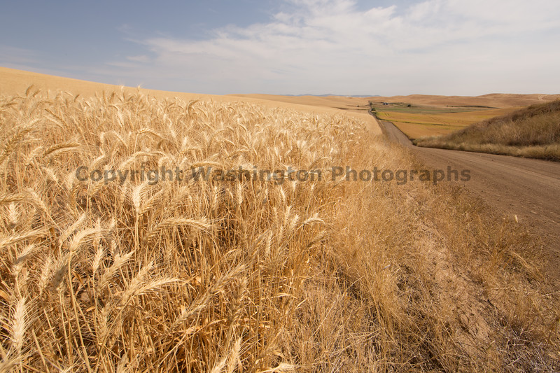 Wheat Fields in Summer 122