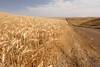 Wheat Fields in Summer 122