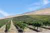 Vineyard - Snipes Mountain 13