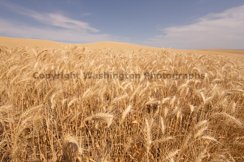 Wheat Fields in Summer 121