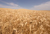 Wheat Fields in Summer 121