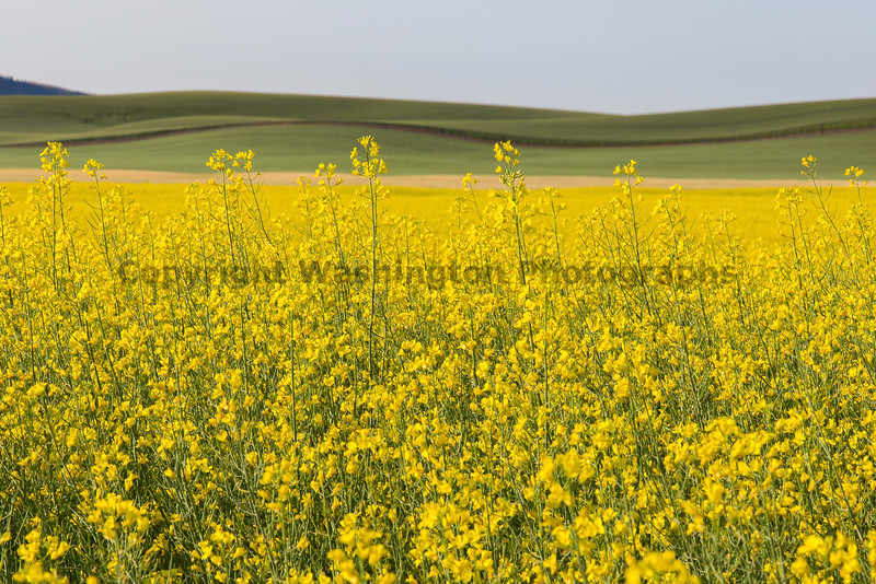 Canola Fields 47