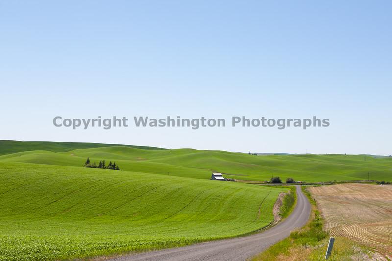 Wheat Fields in Spring 027