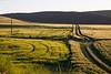 Wheat Fields in Spring 114