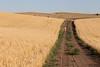 Wheat Farm Girl 279