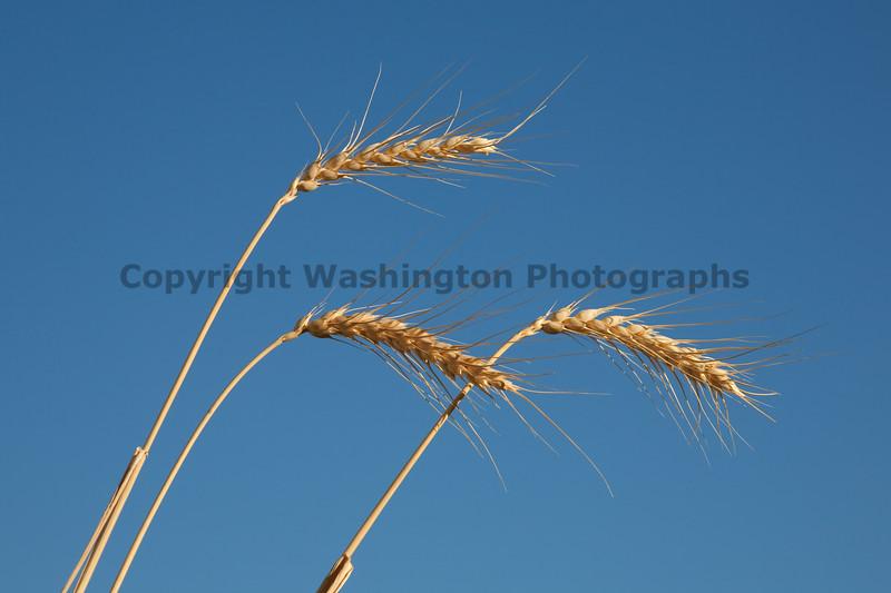 Wheat Fields in Summer 102