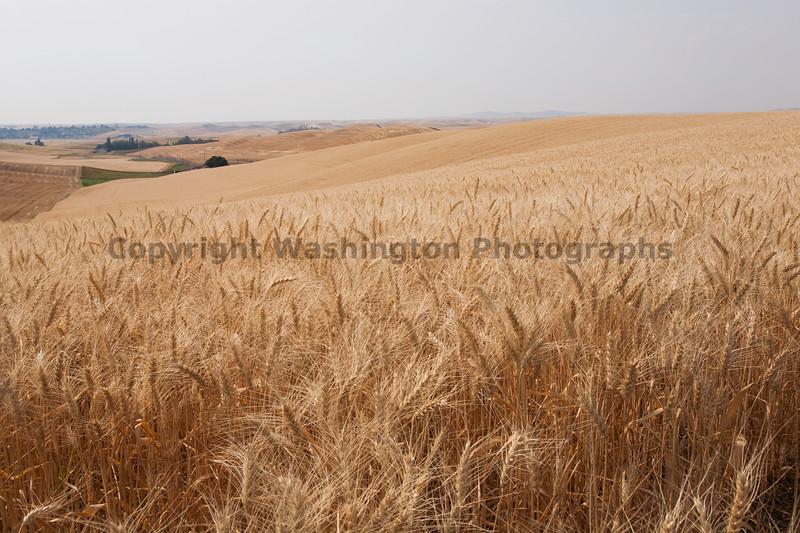 Wheat Fields in Summer 58