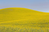 Canola Fields 55