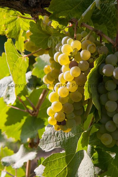 Vineyard Grapes 109