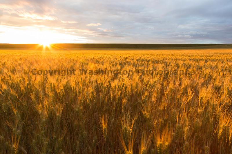 Wheat Fields Sunset 12