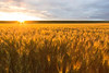 Wheat Fields Sunset 12
