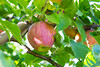 Orchard - Apples 16