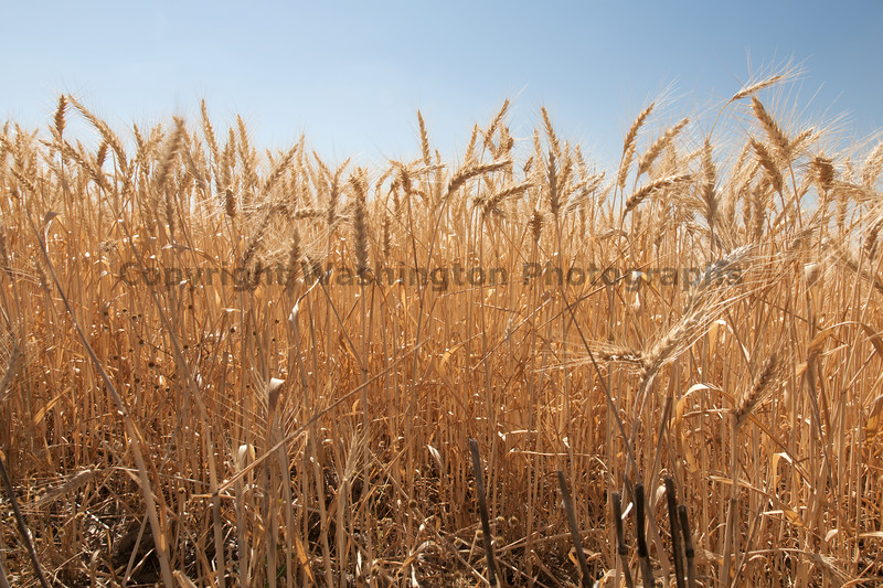 Wheat Fields in Summer 66